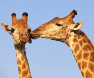 giraffes kissing - kiroyera tours partnerships