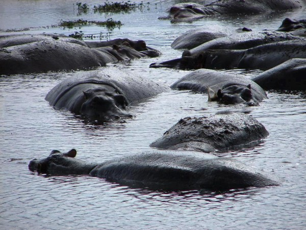 hippo's bathing in pool rubondo island kiroyera tours