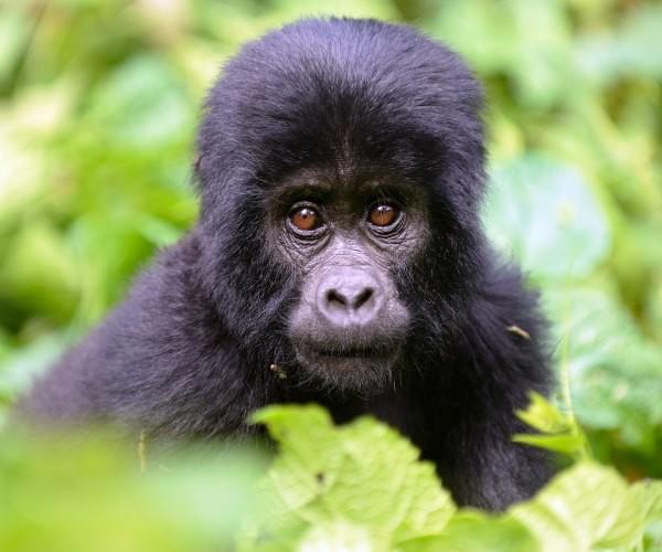 baby mountain gorilla Uganda