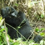 Mountain Gorilla preening
