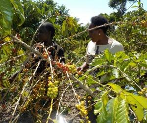 coffee farm tanzania