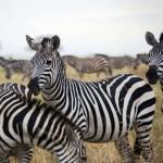 zebra's safari tour kiroyera tours